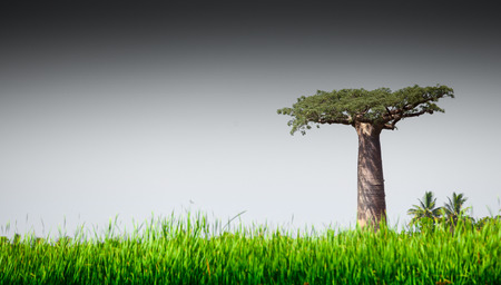 south africa soil: Baobab tree and lush green grass
