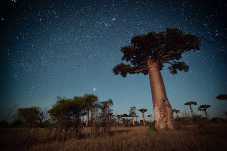 baobab: Starry sky and baobab trees highlighted by moon. Madagascar