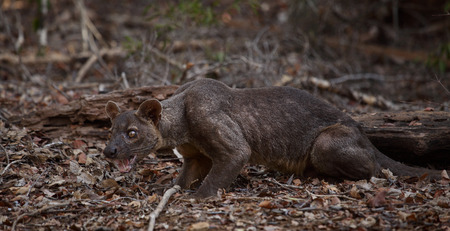 untamed: Endemic fossa (Cryptoprocta Ferox) in the dry forest of Madagascar Stock Photo