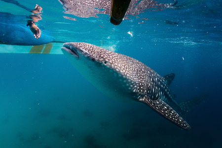 Local man feeding whale sharks (Rhincodon typus) from a boat to attract animals while tourists watching them. Oslob, Philippines Stock Photo