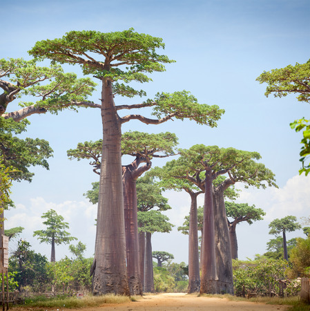 baobab: Baobab trees and rural road at sunny day. Madagascar
