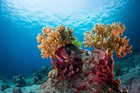 Corales en el mar tropical. Indonesia