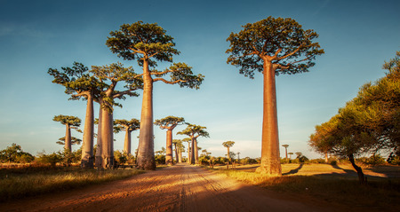 Baobab trees along the rural road at sunny day Foto de archivo