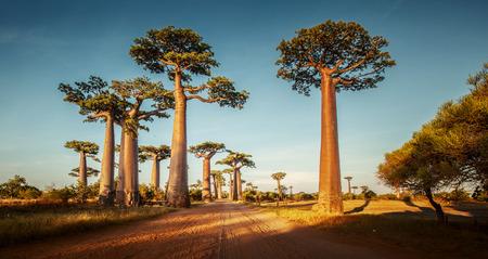 晴れた日に田舎道に沿ってバオバブの木