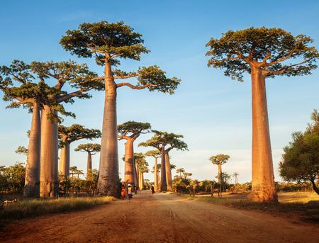 Baobab bomen langs de landelijke weg op zonnige dag Stockfoto