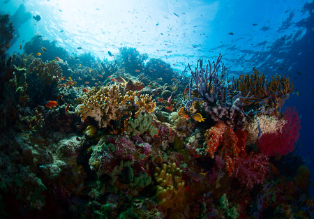 hard coral: Underwater shot of the vivid coral reef in tropical sea. Bali Barat National Park, Indonesia