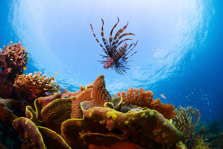 Underwater shot of Lionfish over vivid coral reef photo