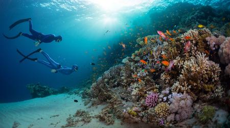 Dois mergulhadores livres explorando parede do recife coral com a vida marinha viva no Mar Vermelho. Egito