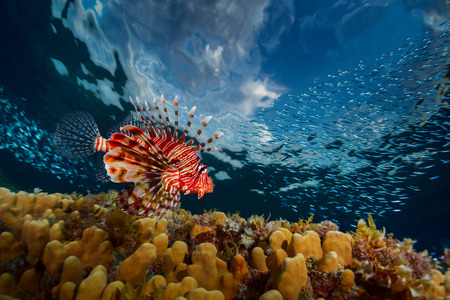 Lion fish swimming over coral reef. Red Sea. Egypt photo