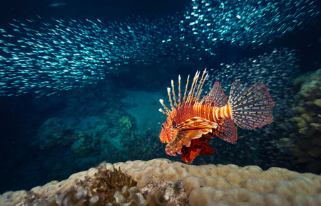 Red lion fish swimming over coral reef surrounded its prey - school of tiny fish. Red Sea. Egypt photo