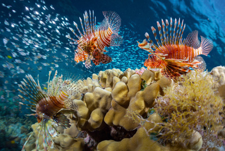 lions rock: School of lion fish swimming over coral reef and watching their prey - school of tiny fish. Red Sea. Egypt Stock Photo