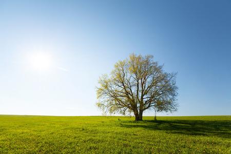 in shadows: Oak tree