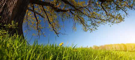 tall tree: Oak tree