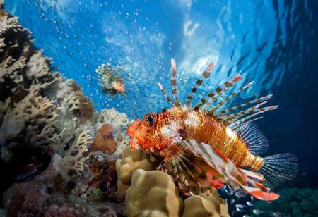 marine animals: Lion fish underwater shot with reef