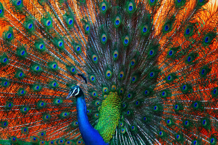 peacock Standard-Bild