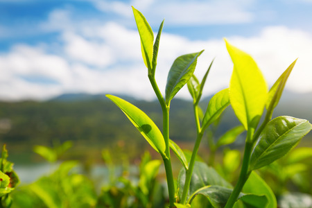 Thé Camellia sinensis