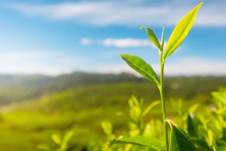 pekoe: Camellia sinensis tea