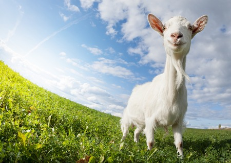sky and grass: Goat on the meadow