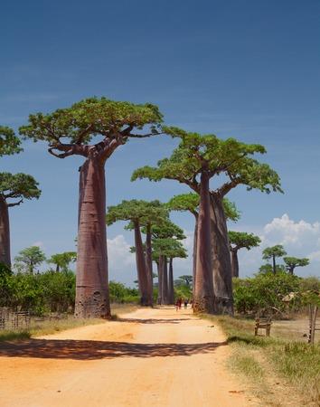 baobab: Madagascar