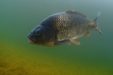 cyprinidae: Underwater shot of the fish (Carp of the family of Cyprinidae) in the pond.
