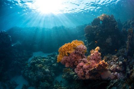 tir sous-marin du récif de corail avec des coraux lumineux. Mer Rouge, Egypte