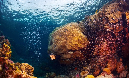 Underwater shot of the coral reef with fishes, predators and prey (big fish in the centre is predator named Lion fish) 版權商用圖片
