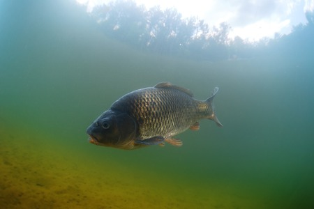 fish water: Fish (Carp of the family of Cyprinidae) in the pond near a bottom Stock Photo