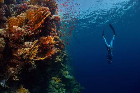 freediver: Freediver descending along the vivid reef wall. Red Sea, Egypt
