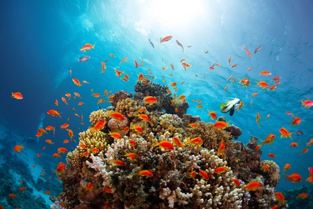 vivid: Coral reef with fishes around with clear blue water on the background Stock Photo