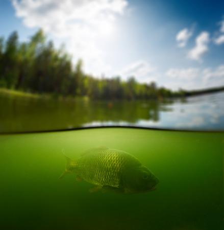 표면 위의 숲과 수중 물고기 (잉어과의 가족의 잉어)와 담수 연못의 스플릿 샷
