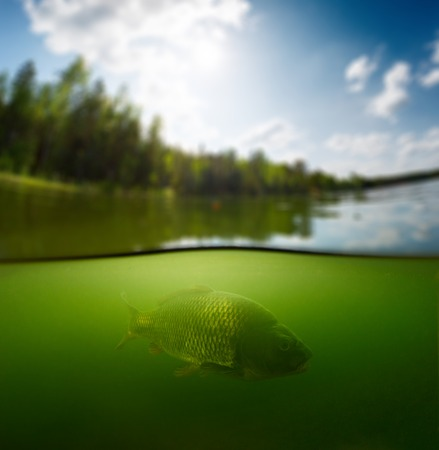 cyprinidae: Split shot of the freshwater pond with forest above the surface and the fish (Carp of the family of Cyprinidae) underwater
