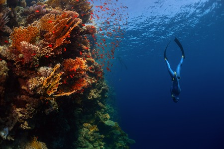 free diving: Freediver descending along the vivid reef wall. Red Sea, Egypt
