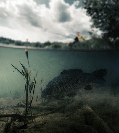 cyprinidae: Split shot of the freshwater pond with fisherman above the surface and big fish (Carp of the family of Cyprinidae) grazing underwater over the bottom. Blurred edges, focus only on the fish.