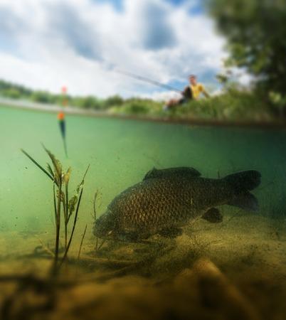 바닥을 통해 수중 방목 표면 위의 어부와 큰 물고기 (잉어과의 가족의 잉어)와 담수 연못의 분할 촬영. 흐린 가장자리 만 물고기에 초점을 맞 춥니 다.