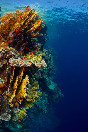 rock wall: Underwater shot of the coral reef wall with lots of bright corals and tiny fish
