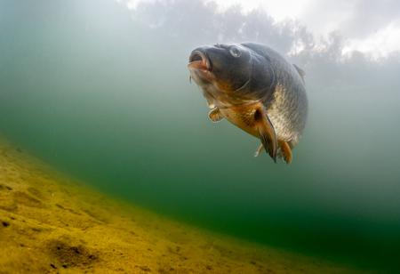 Fish (Carp van de familie van Cyprinidae) in de vijver in de buurt van een bodem