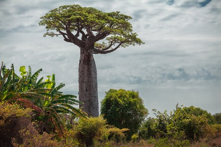baobab: Baobab tree with green leaves among the lush green small trees. Madagascar Stock Photo
