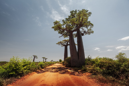 unpaved road: Baobab trees along the unpaved red road at sunny hot day. Madagascar Stock Photo