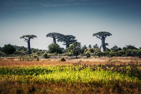 south africa soil: Baobab trees at sunny day. Madagascar