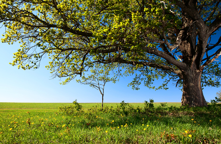 summer field: Big tree on the green field with blue sky on the background