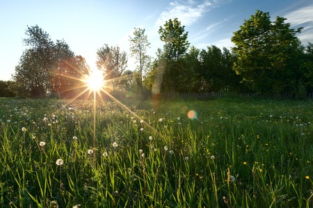 land plant: Field of dandelion with a green trees Stock Photo