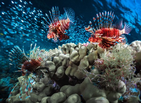 lions rock: Three Lion fishes and school of bait fish swimming near the coral reef Stock Photo