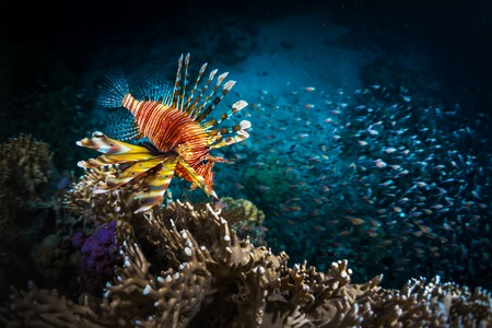 school of fish: Lion fish and school of bait fish swimming near the coral reef Stock Photo