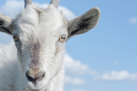 goat head: Goat on the blue sky background