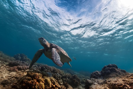 water wave: Underwater shot of the turtle in the clear sea