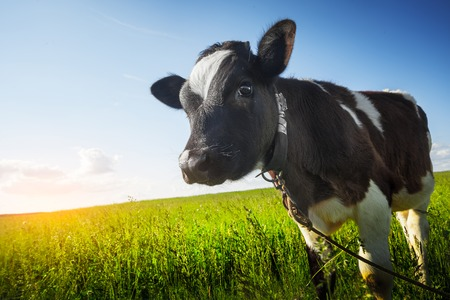 pastures: Calf on the green sunny meadow