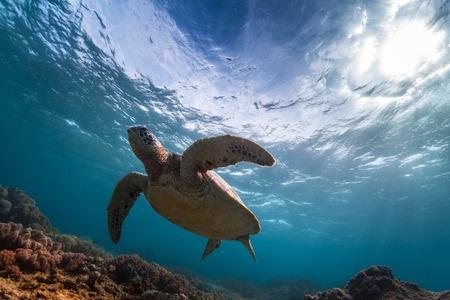 underwater ocean: Underwater shot of the turtle in the clear sea