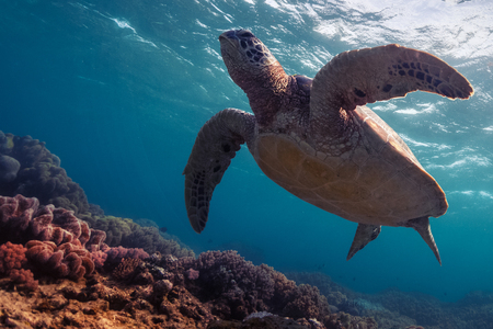 beneath the surface: Close up underwater shot of the turtle in the clear sea