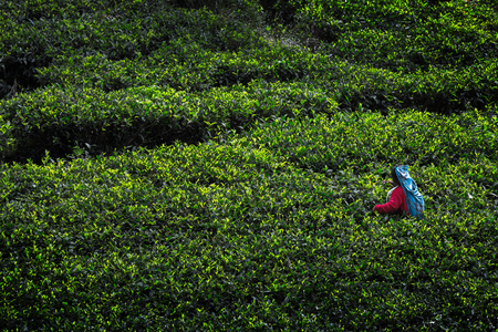 agriculture sri lanka: Woman in colorful dress harvesting on the tea plantation