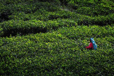 pekoe: Woman in colorful dress harvesting on the tea plantation